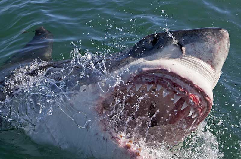 A Great White shark in South Africa. (Photo by Chris Fallows/Discovery Channel)