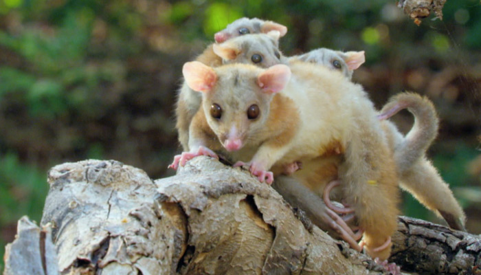 A Derby's woolly opossum on Survivor