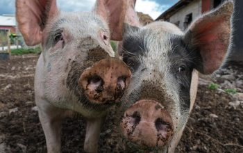 Survivor pigs