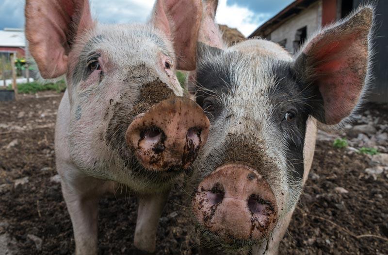 Survivor pigs