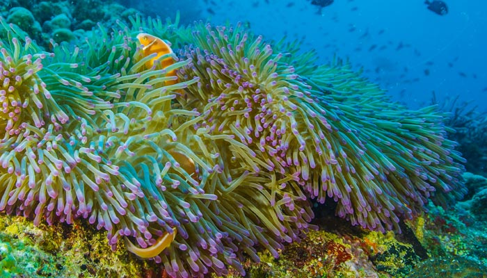 pink skunk clownfish on Life on the Reef