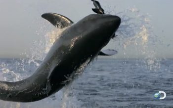 How that iconic Shark Week shark jump was filmed