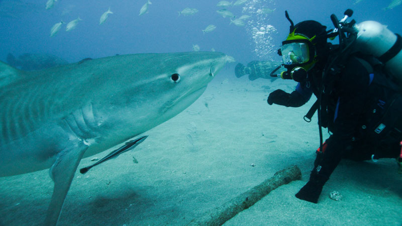 Greg Skomal tiger shark Shark Week 2015