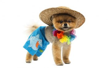 casting mistake Pomeranian dog in a costume