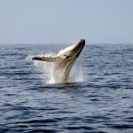 No Whale Wars on Animal Planet this year