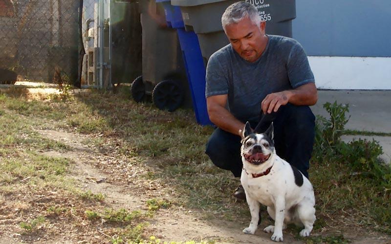 Cesar Millan, Simon, pig attack, animal cruelty investigation