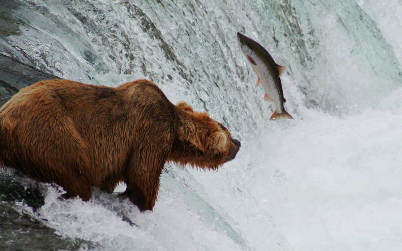 grizzly bear, salmon, Katmai National Park and Preserve, The National Parks, PBS, Ken Burns