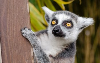 lemur, looking