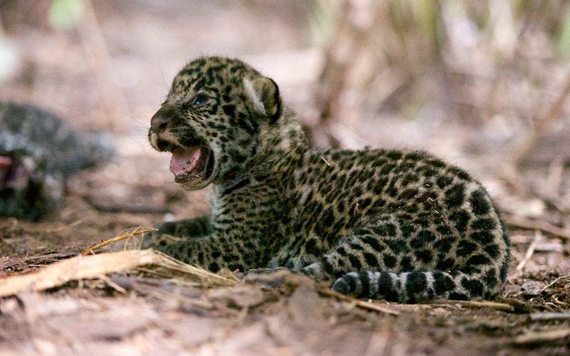 jaguar cub, Brazil, Big Cat Week