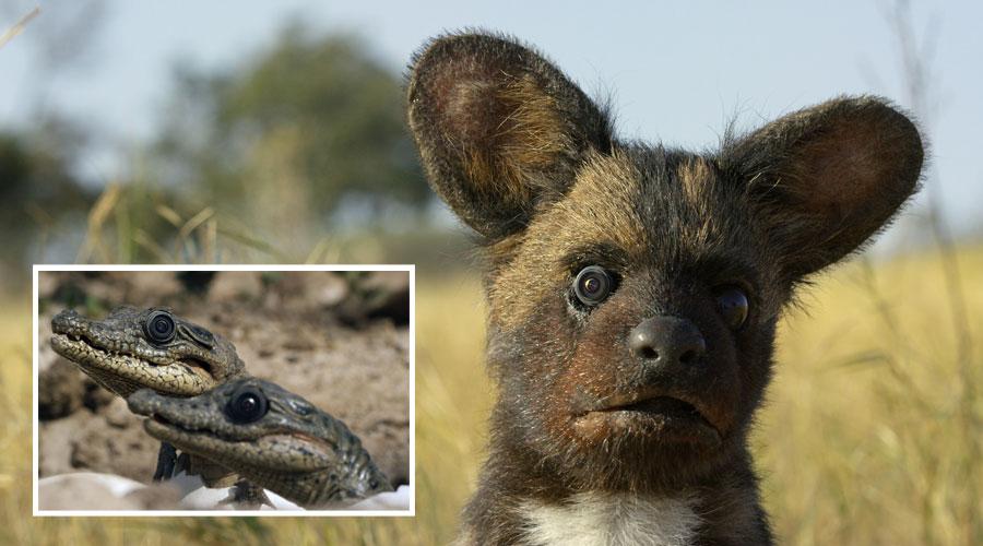 PBS, Spy in the Wild, spy pup, spy crocodiles