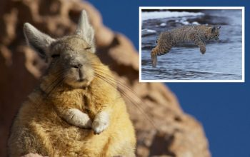 Planet Earth II, mountain viscacha, bobcat