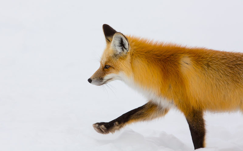 red fox, Yellowstone, Planet Earth II
