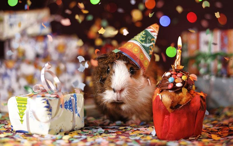 birthday guinea pig