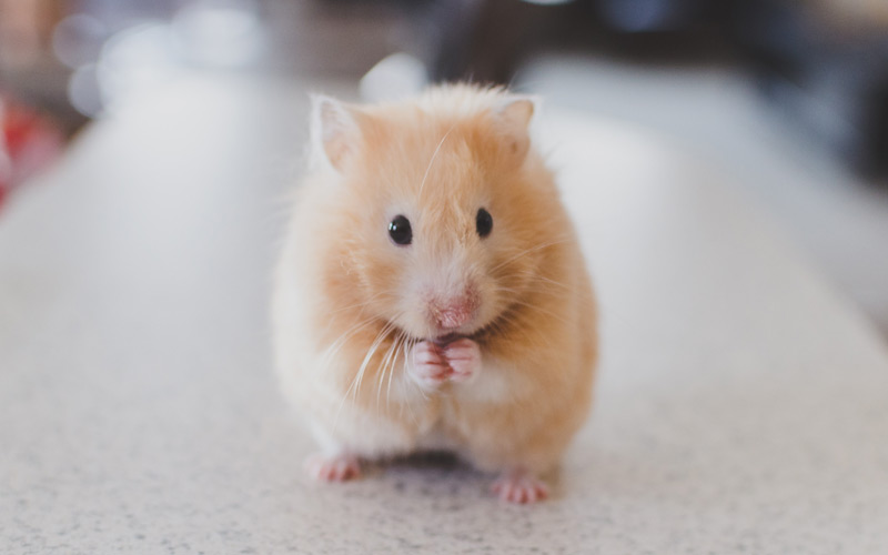 Grateful hamster