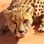 Cat pictures for your Monday, which is International Cheetah Day