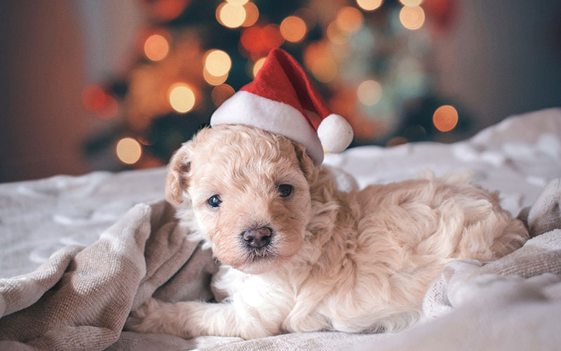 Puppy with a Santa hat