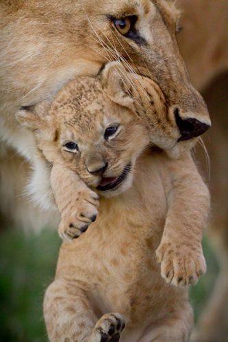Charm and cub, Dynasties, BBC America