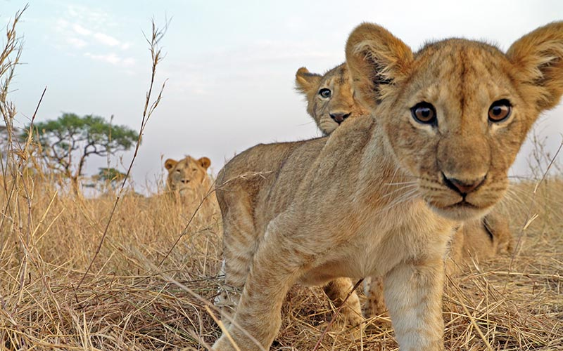 Serengeti, lion cubs, Discovery Channel