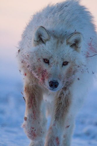 Arctic wolf, Hostile Planet, National Geographic Channel