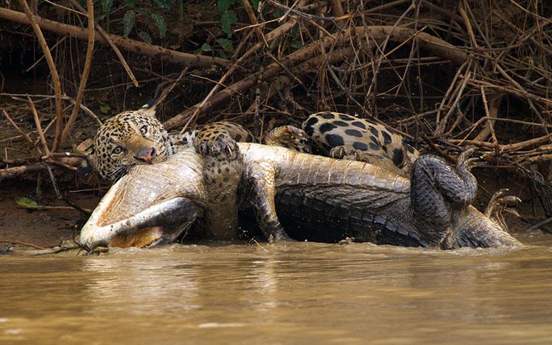 Jaguar and crocodile, Brazil, Hostile Planet, National Geographic