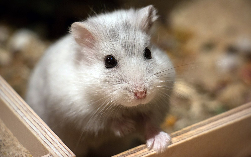 A hamster, not actually a photo of Big Brother feed-watcher and recapper Hamsterwatch