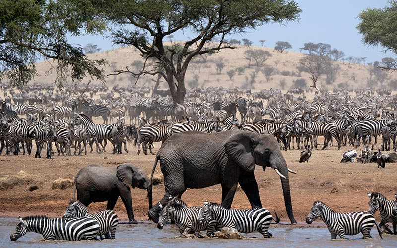 Elephants and zebras at a watering hole on Serengeti episode 4