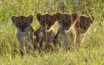Lion cubs on Serengeti episode 1