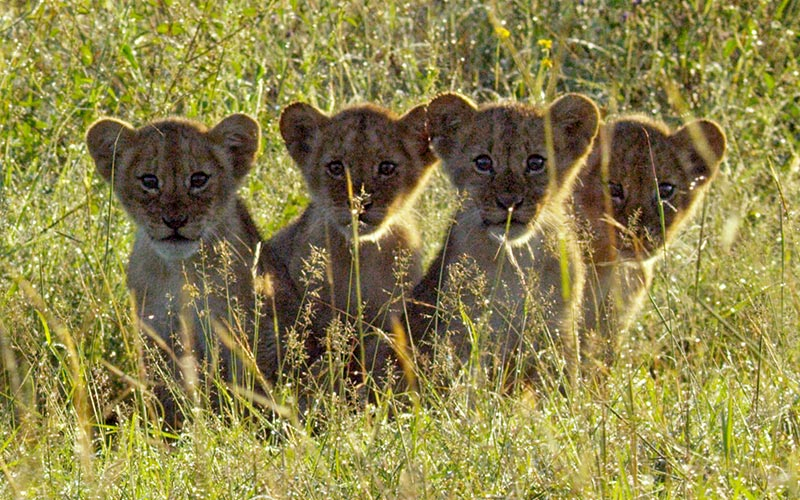 Lion cubs on Serengeti episode 1