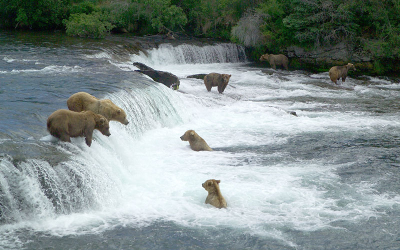 Brown bears gather to catch salmon at Brooks Falls in Katami National Park