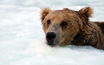 A brown bear at the bottom of Brooks Falls in Katami National Park. (Photo by the National Park Service)