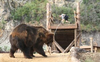 A Man vs. Bear contestant, Brad, is pulled off a platform by Bart, a bear