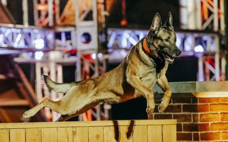 A contestant on America & # 39; s Top Dog jumps over a fence obstacle.