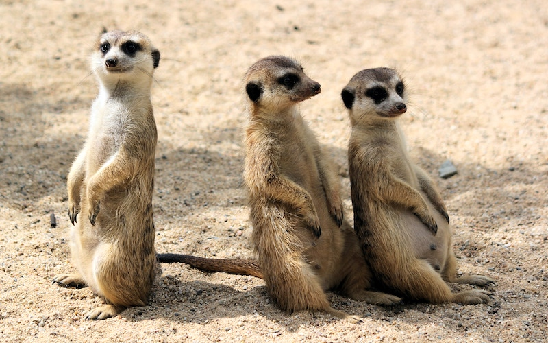 Meerkats, but not the ones who will star in BBC America's Meerkat Manor: Rise of the Dynasty