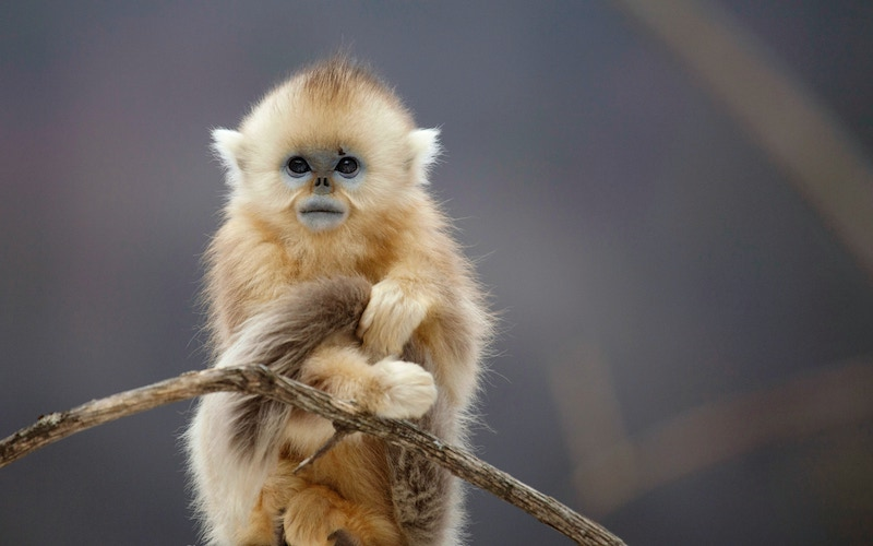 A young golden snub nosed monkey on the fourth episode of BBC America's Seven Worlds