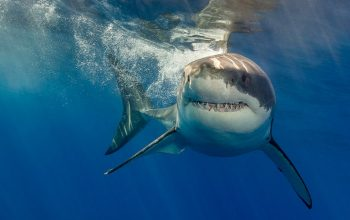 A great white shark, as seen in What the Shark