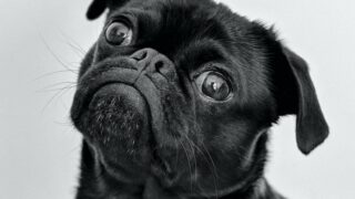 A pug with the same expression I had after learning about the new reality show Pop My Pet