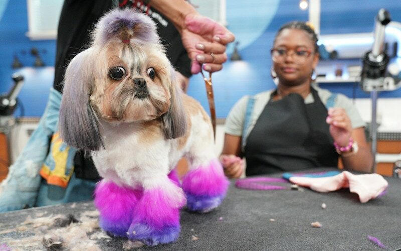 A dog is groomed by Pooch Perfect contestant Adrian Smith as Bria Scott looks on